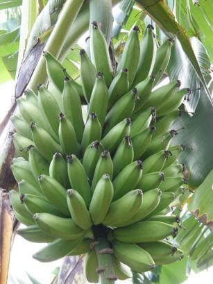 Mudas de Banana Prata Vitória