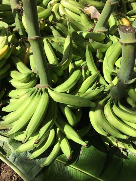 Mudas de Banana Terrinha