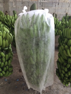 Ensacamento do cacho de banana