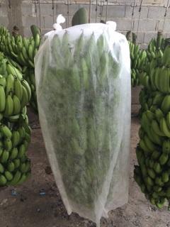 Ensacamento do cacho de banana