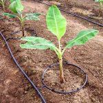 Irrigação de banana por gotejamento