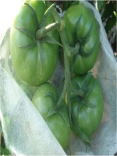 Saco para ensacar plantio de frutas