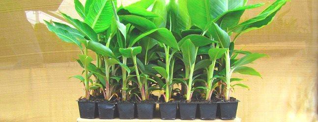 Mudas de bananas resistentes à Sigatoka
