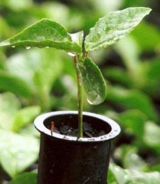 Cultivo de Mudas de Café em Saquinhos e Tubetes