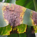 Sigatoka Negra: Mycosphaerella fijiensis