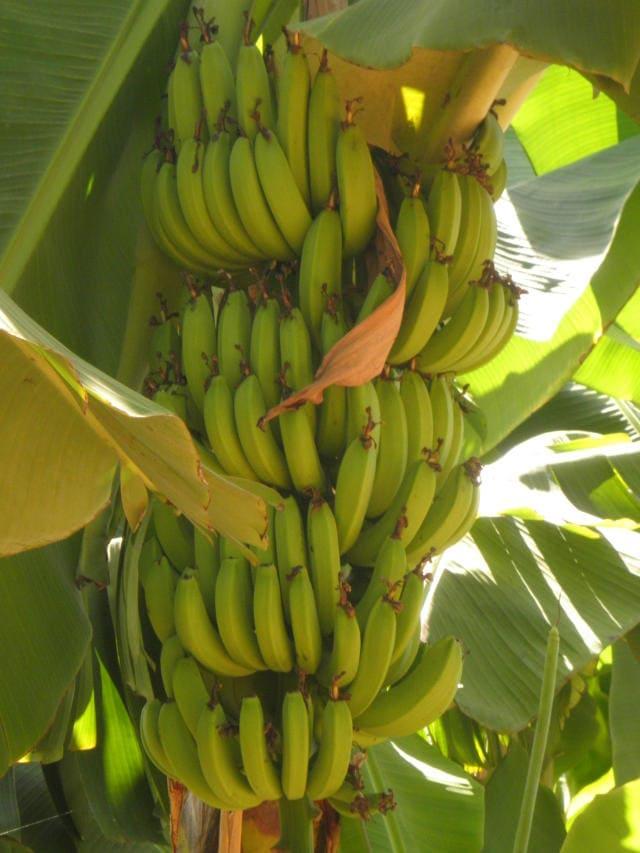 Mudas de Banana BRS Platina