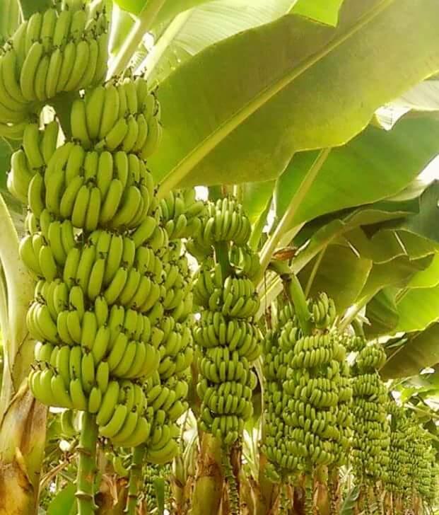 Banana Williams: Mudas para Comprar