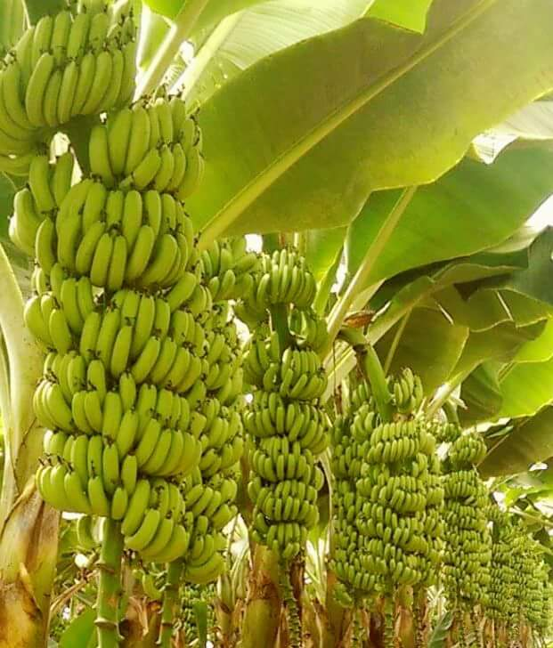 Banana Williams: Mudas para Comprar
